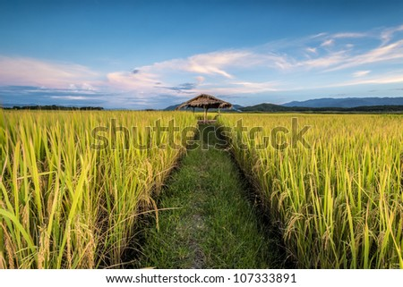 beautiful rice field in thailand with evening sky - stock photo