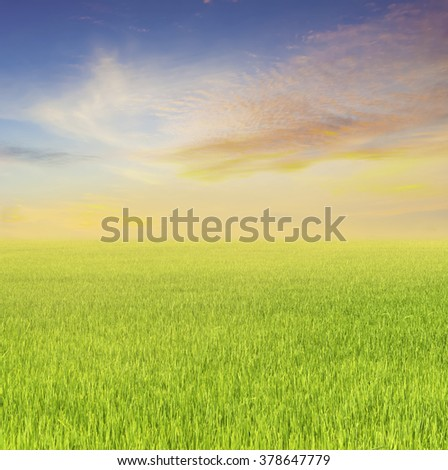 Beautiful rice fields and Sunset for background - stock photo