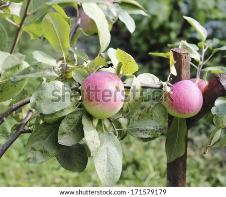 Beautiful ripe apples on apple tree branch - stock photo