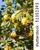 Beautiful ripe lemons in the tree in a sunny day. - stock photo