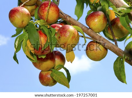 Beautiful Ripe Nectarines on the Tree Against a Blue Sky - stock photo