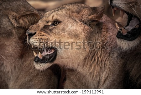 Beautiful roaring lioness close-up  - stock photo