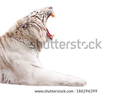 Beautiful roaring white tiger - isolated on white background - stock photo