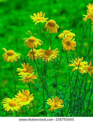 beautiful roman chamomiles in green mood - stock photo