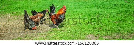 Beautiful rooster and chickens on background of green grass. - stock photo