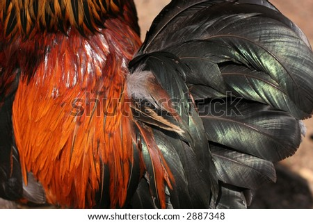 beautiful rooster feathers
