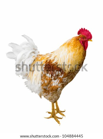 Beautiful Rooster isolated on white background. - stock photo
