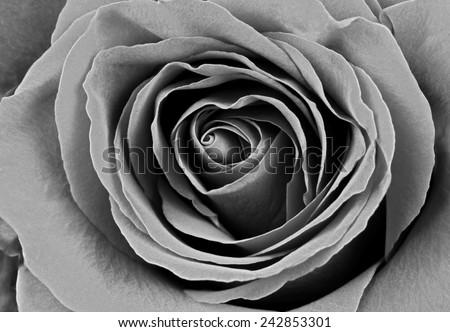 Beautiful rose, BW. Macro image. - stock photo