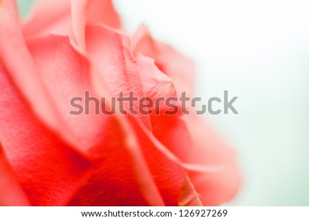 Beautiful rose close-up as background - stock photo