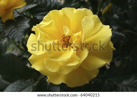 Beautiful Rose - Closeup - stock photo