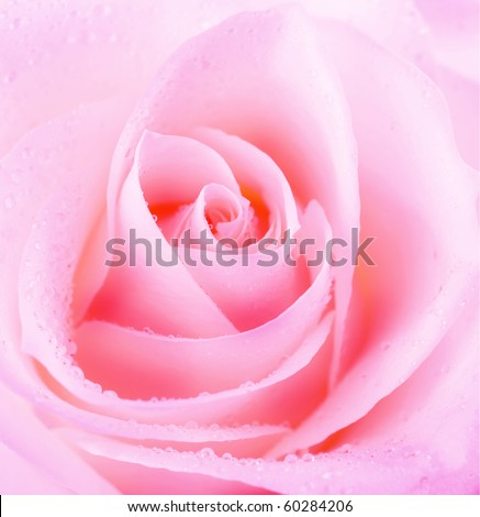 Beautiful Rose Flower - stock photo
