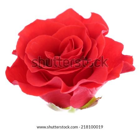 beautiful rose flower, isolated on white - stock photo