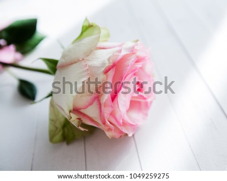 Beautiful rose flower on white wooden background, romantic and love concept