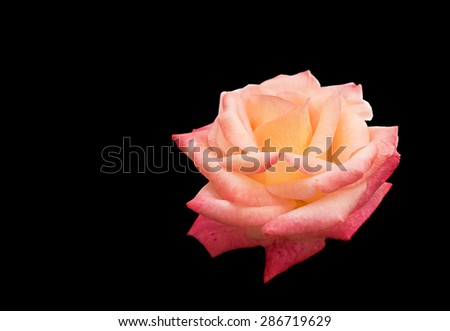 beautiful Rose flower symbol of love isolated on black background with copy space for greeting funeral sympathy or condolences card - stock photo