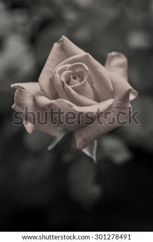 beautiful rose flower with vintage style - stock photo