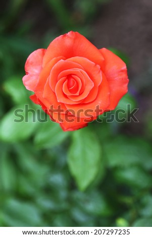 Beautiful rose in garden - stock photo