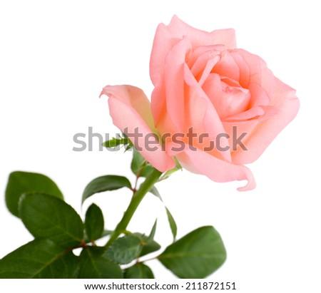beautiful rose, isolated on white - stock photo