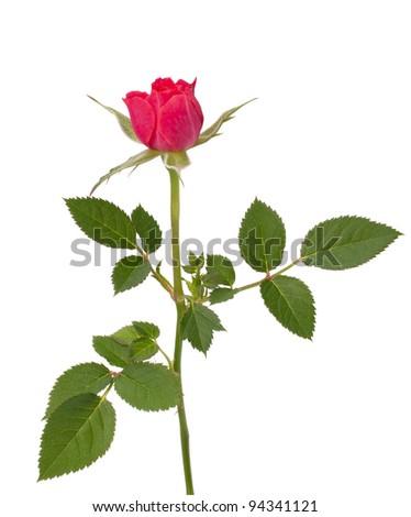 Beautiful rose   isolated on white background - stock photo