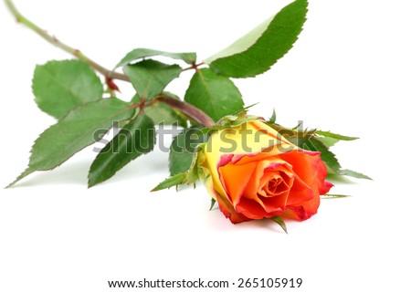 beautiful rose on a white background isolated - stock photo