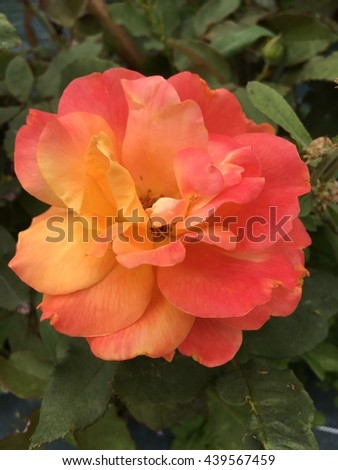beautiful rose with green leaves