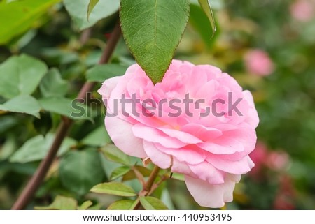 Beautiful rose with nature background, close up of rose, beautiful rose in garden - stock photo