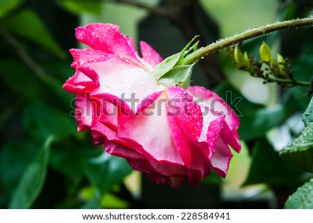 Beautiful rose with waterdrops in the garden. Image has grain texture visible on maximum size - stock photo