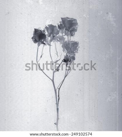 Beautiful Roses Daguerreotype Film Grain Vintage Stock Illustration ...