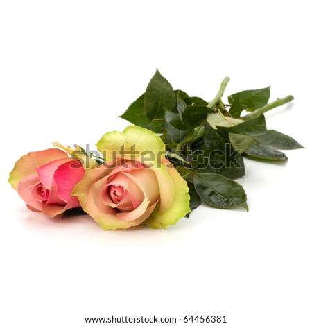 Beautiful roses isolated on white background - stock photo