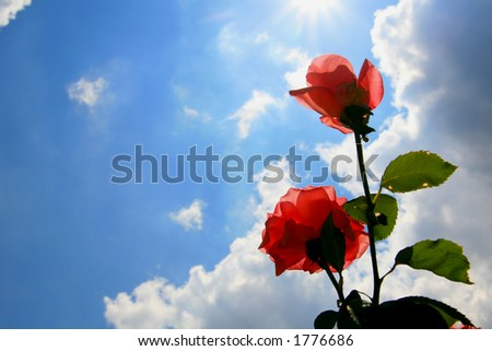 beautiful roses silhouetted against a blue sky - stock photo