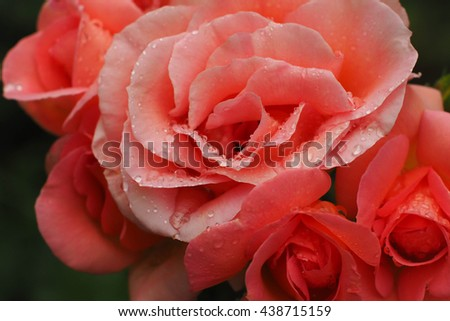 Beautiful roses with water drops - stock photo