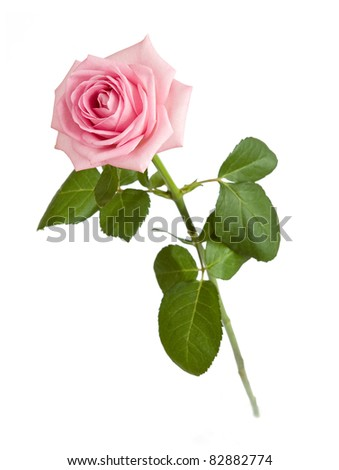 Beautiful rosy rose with leaves isolated on white - stock photo