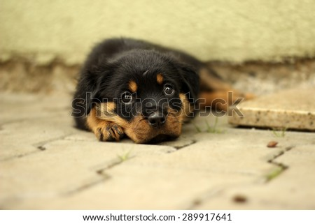 Beautiful Rottweiler puppy, age six weeks. Photographed in difficult conditions at the kennel - stock photo