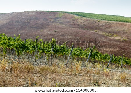 Beautiful Rows of Brunello Grapes in a Vineyard in Montalcino, Tuscany, Italy - stock photo