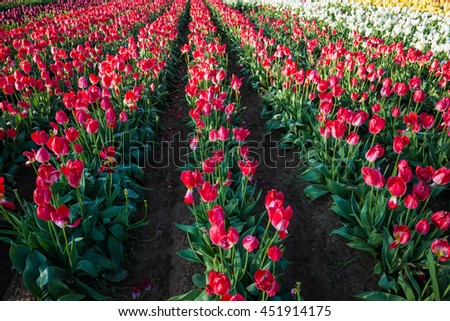 Beautiful rows of flowers at a tulip farm - stock photo