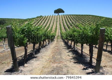 Beautiful rows of grape vines in California - stock photo