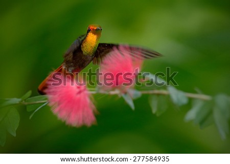 Beautiful Ruby-Topaz Hummingbird from Tobago flying next to beautiful pink flower, clear green background - stock photo