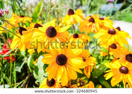 Beautiful rudbeckia in the garden - stock photo