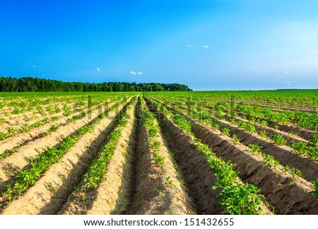 beautiful rural landscape with a potato field