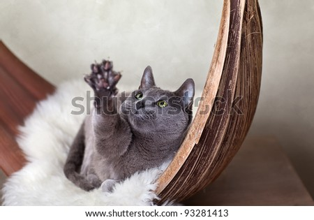 Beautiful Russian Blue Cat relaxing on Palm Leaf - stock photo