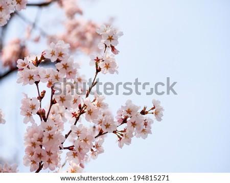 beautiful Sakura blossom in Japan - stock photo