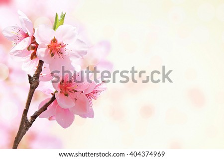 Beautiful Sakura flower on white background.Shallow DOF by wide aperture. - stock photo