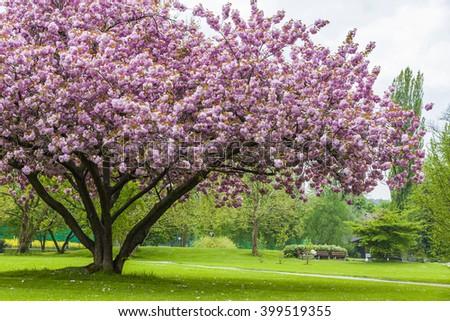 Beautiful sakura tree in the park in Kreuzlingen, Switzerland - stock photo