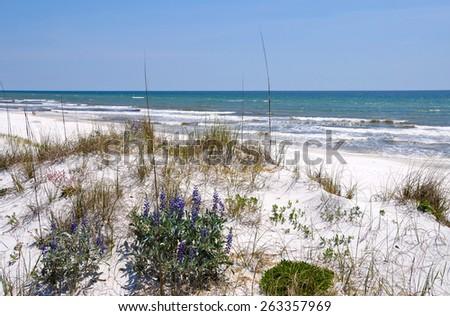 Beautiful Sand Dunes, Flowers and Sea Oats on the Florida Coastline  - stock photo