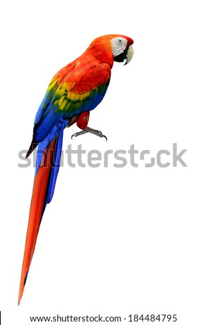 Beautiful Scarlet Macaw bird in natural color with full details of whole body and feet isolated on white background