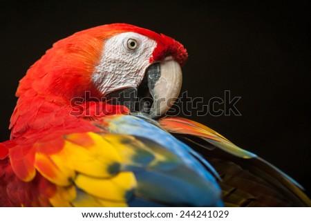 Beautiful Scarlet Macaw bird with nice dark background - stock photo