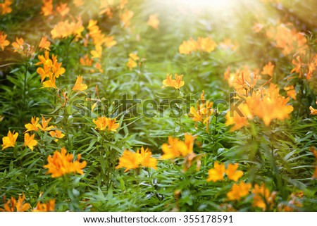 Beautiful scene of a blossom yellow flowers meadow under sunlight at summer - stock photo