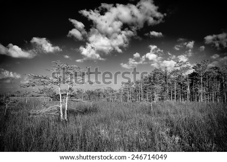 Beautiful scene of the Florida Everglades Landscape in black and white with a dwarf cypress tree and a tree island or hammock in the background - stock photo