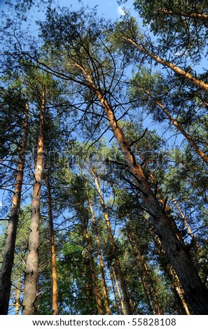 Beautiful scenery in the pine forest - stock photo