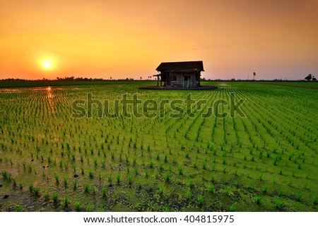 Beautiful scenery of green paddy field during sunset. Nature composition