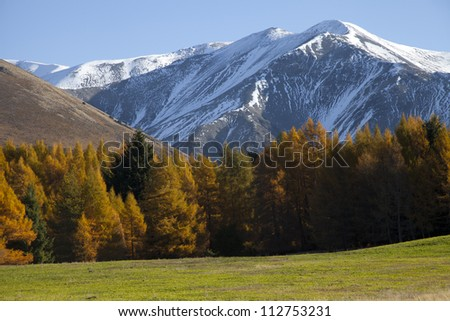 Beautiful scenery of the aspen pine wood southern alps mountain south island New Zealand